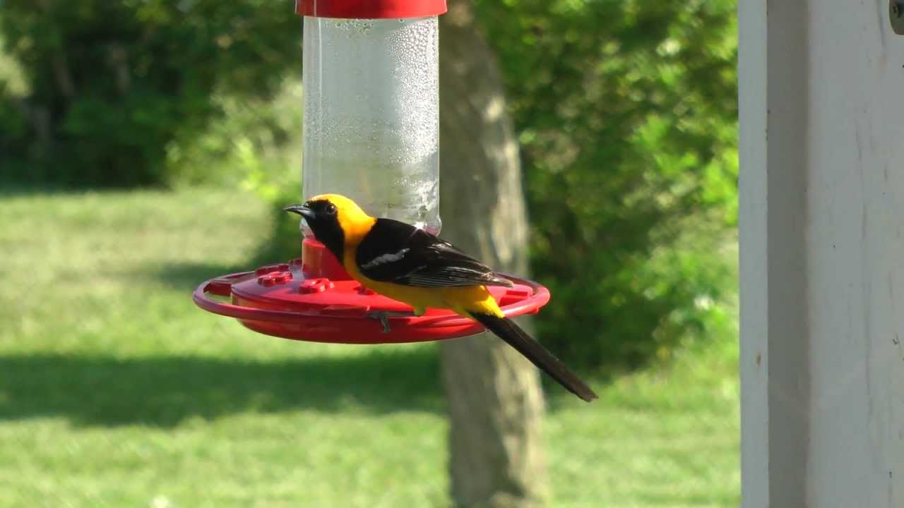 oranges baltimore birds that youtube oriole grape and jelly best feeder watch eat