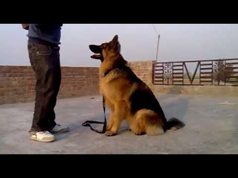 German shepherd - RONNY's training on terries
