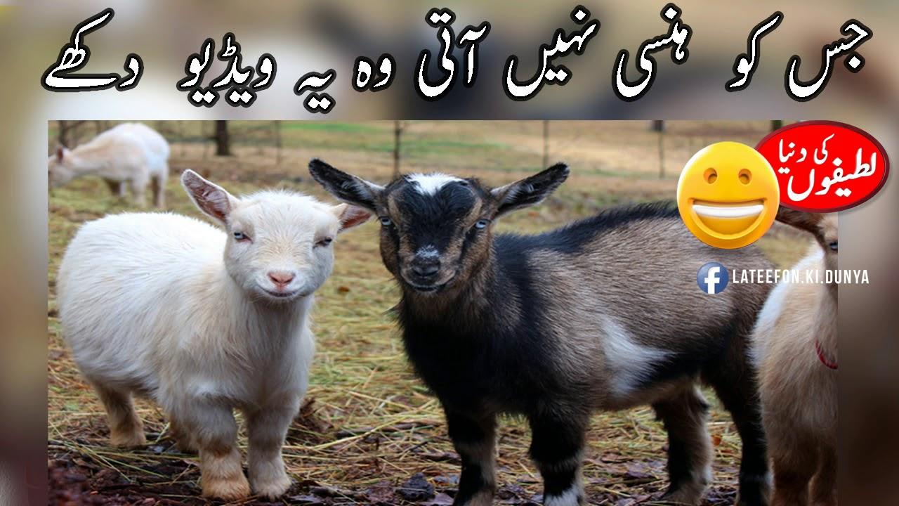Funny video 2018   Eid ul Azha funny video  Lateefon Ki Dunya