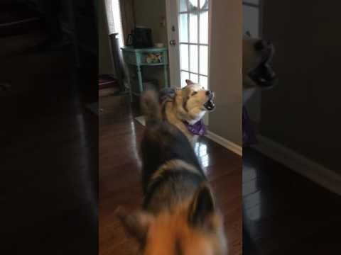 Stubborn Husky wants his morning walk