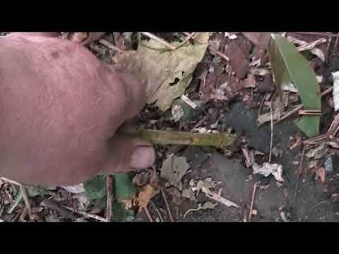 малина чёрная кумберленд