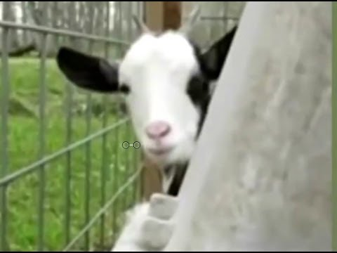 смешные козы видео xxxl
