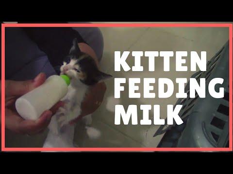 Cute cat feeding milk. Kitten feeding milk