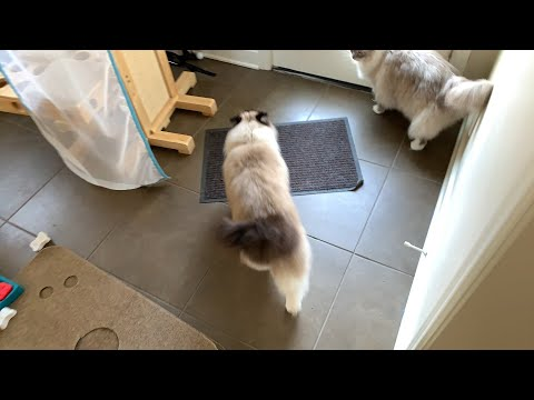 Ragdoll Cat Morning Routine: Vlogging Day 2