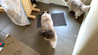 Ragdoll Cat Morning Routine: Vlogging Day 2