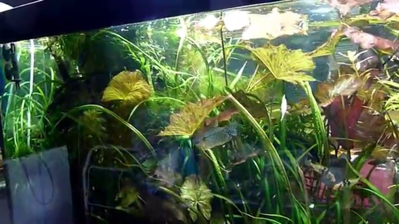 Aquarium 360 Litres Biotope Amazonien Version Courte Youtube