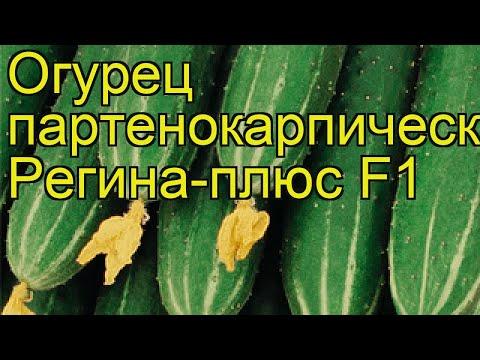 Огурец партенокарпический Регина-плюс. Краткий обзор, описание характеристик cucumis sativus | партенокарпический | описание | регина | огурец | обзор | плюс | cucumis | sat