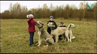 Ирландские волкодавы: все о породе