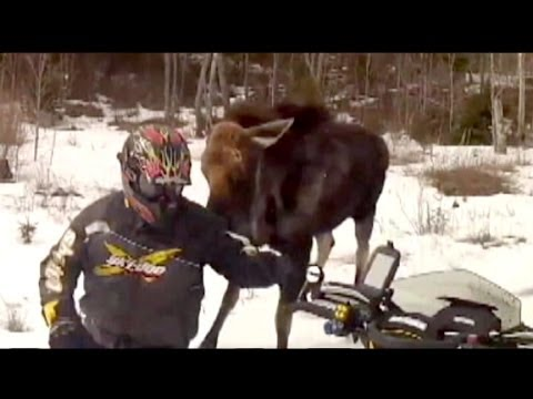 Moose Defends Territory Against Snowmobilers