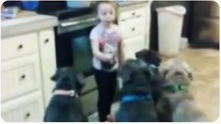 Little Girl Controls Pit Bull Dogs | Future Dog Trainer thumbnail