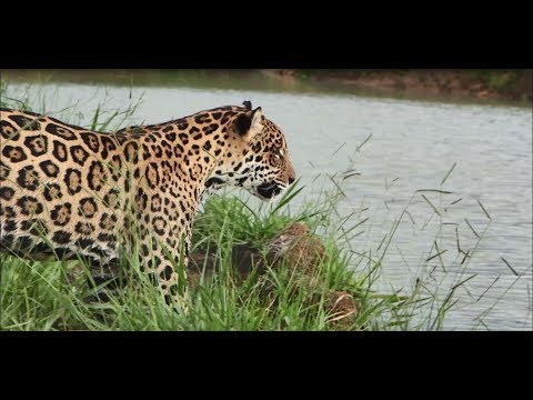 What Do Jaguars Eat >> Eating Chickens Is Killing Jaguars Dead Zone 2