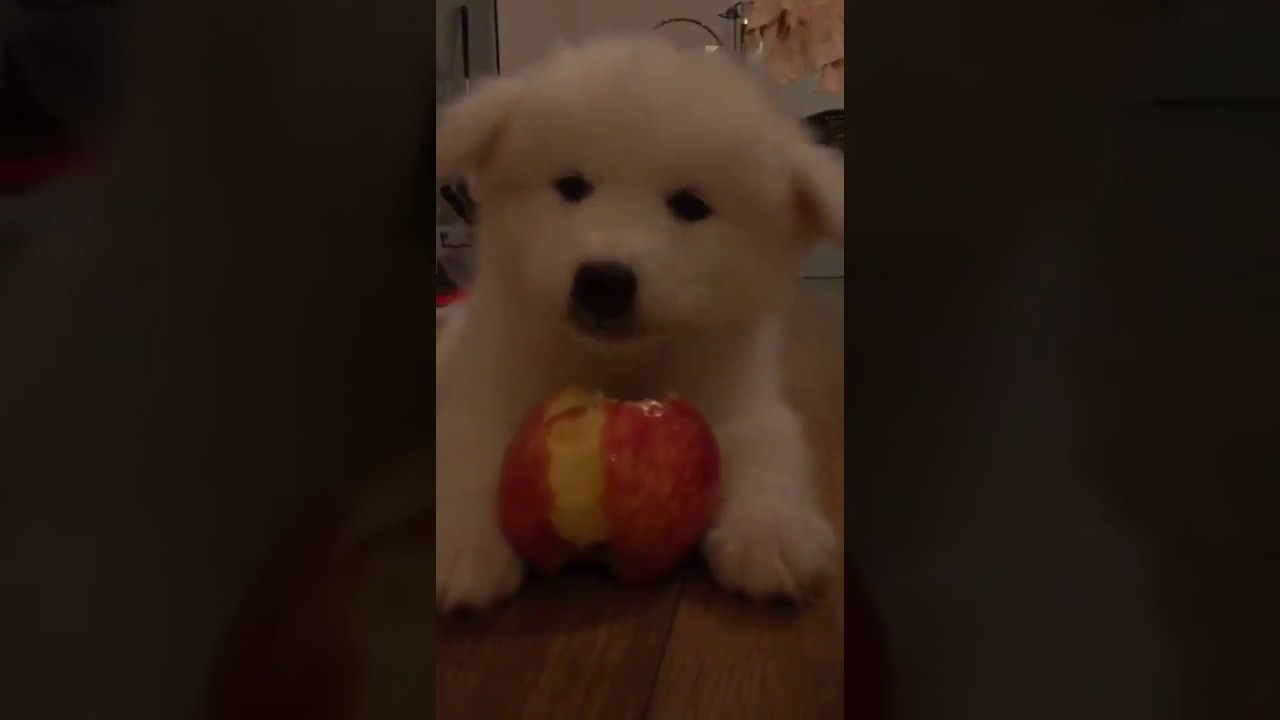 The Puppy Eats The Apple Omg He Is So Cute Youtube