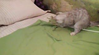 Британские котята из питомника в Москве http://gala-cat.ru/