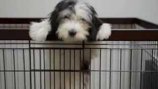 ポーリッシュ ローランド シープドッグの子犬です.