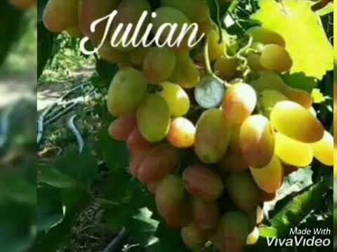 jual-bibit-anggur-impor-wa-085733660033-jenis-manicure-finger,-wink,-angelica-dll