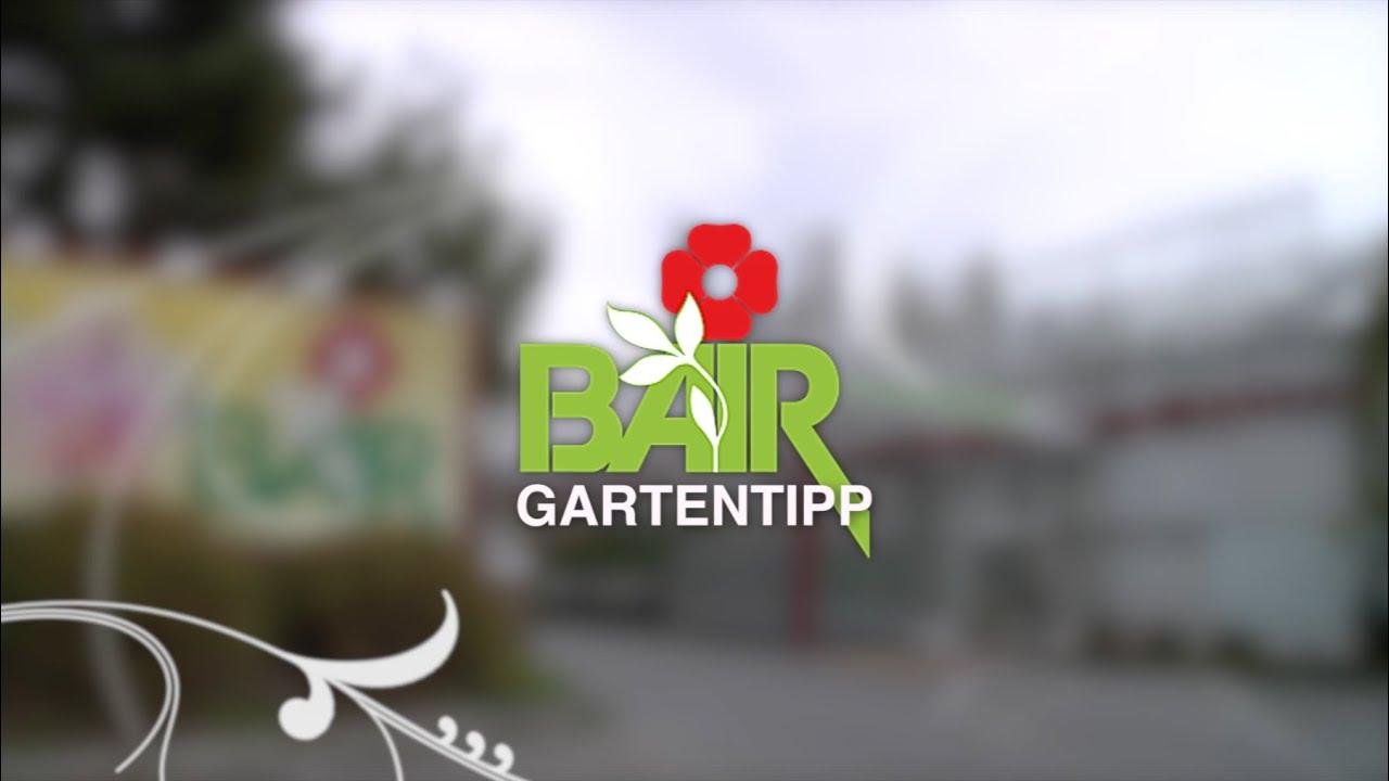 Gartentipps Blumen Bair Geranien Uberwintern Youtube
