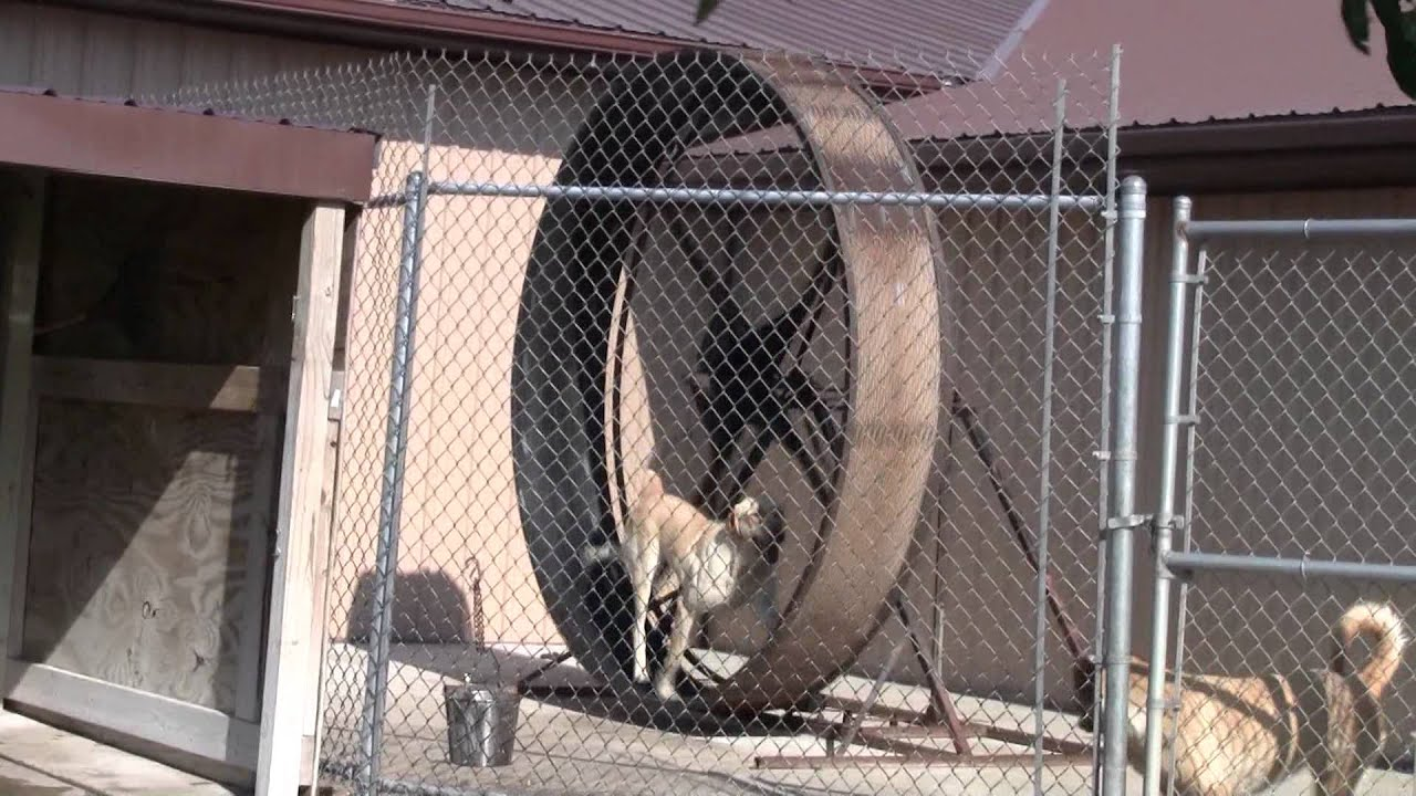Dog in a Giant Hamster Wheel  YouTube