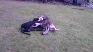 Волк против собаки!