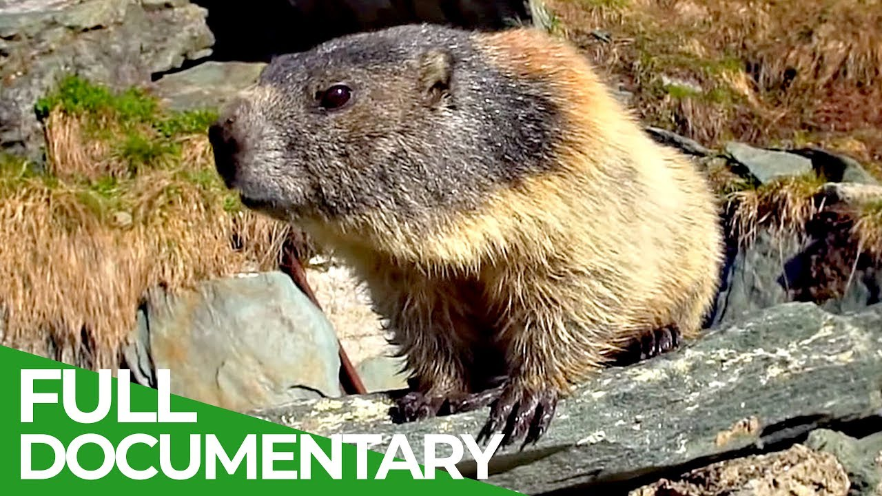 Marmots: The Inhabitants of the Alps | Free Documentary Nature