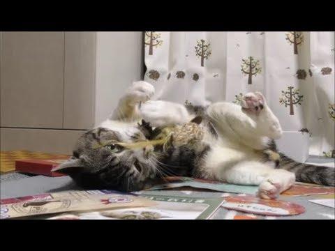 今日も豪快に暴れる猫リキちゃん☆好きなおもちゃとそうでないものとの温度差が凄いw【リキちゃんねる 猫動画】Cat video キジトラ猫との暮らし