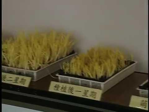 蒜黃居家生產技術