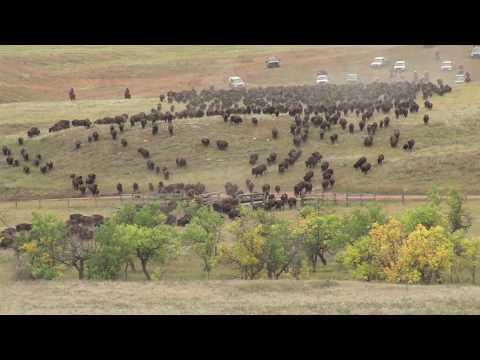 South Dakota Buffalo Roundup 2013