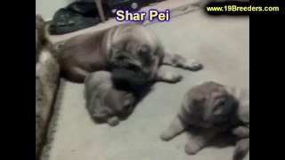 Sharpei, Puppies, For, Sale, In, Cincinnati, Ohio, Oh, Westerville, Huber Heights, Lima, Lancaster,