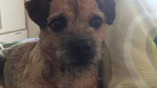 Interview with a Border Terrier