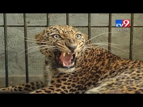 Forest dept intensifies search operation to find 'Man-Eater' leopard in Dahod- Tv9