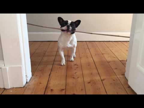 French Bulldog puppy problem solving.