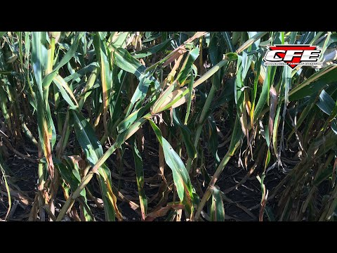 Attention Needed in Corn Harvest Timing