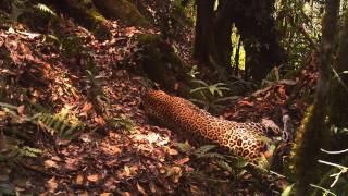Учёные засняли на видео редкого яванского леопарда