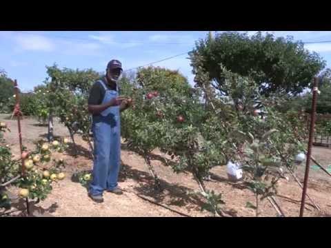 Patrick Sixto, Orchardist Extraordinaire