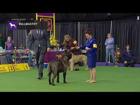 Bullmastiffs | Breed Judging 2019