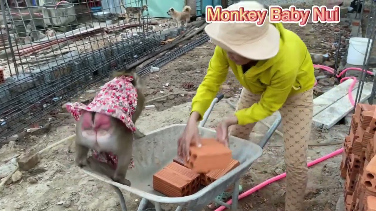 Monkey Baby Nui | Nui visited Nui's new house under construction