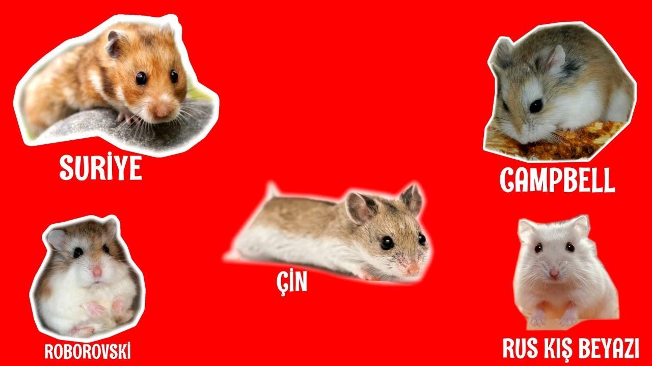 hamster türleri
