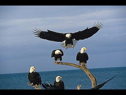Bald Eagles of Alaska HD 1080p