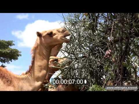 Ethiopia - Camels