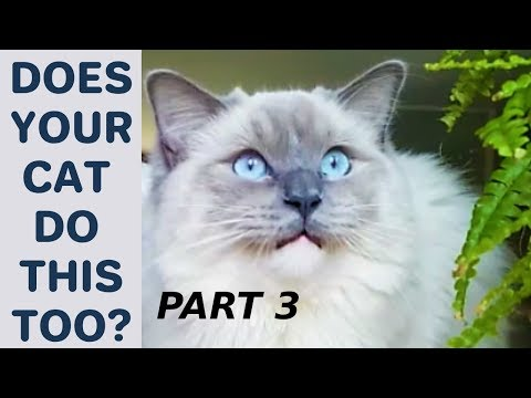 Does Your Cat Do This Too? - Poll. Part 3 Compilation with Bowie The Ragdoll Cat