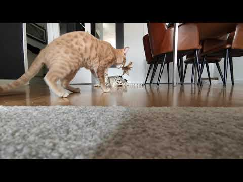 Our ocicats playing fetch