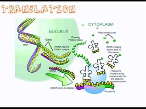 protein synthesis a level