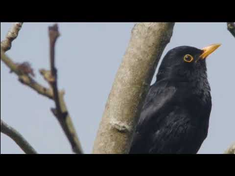 Как поет черный дрозд