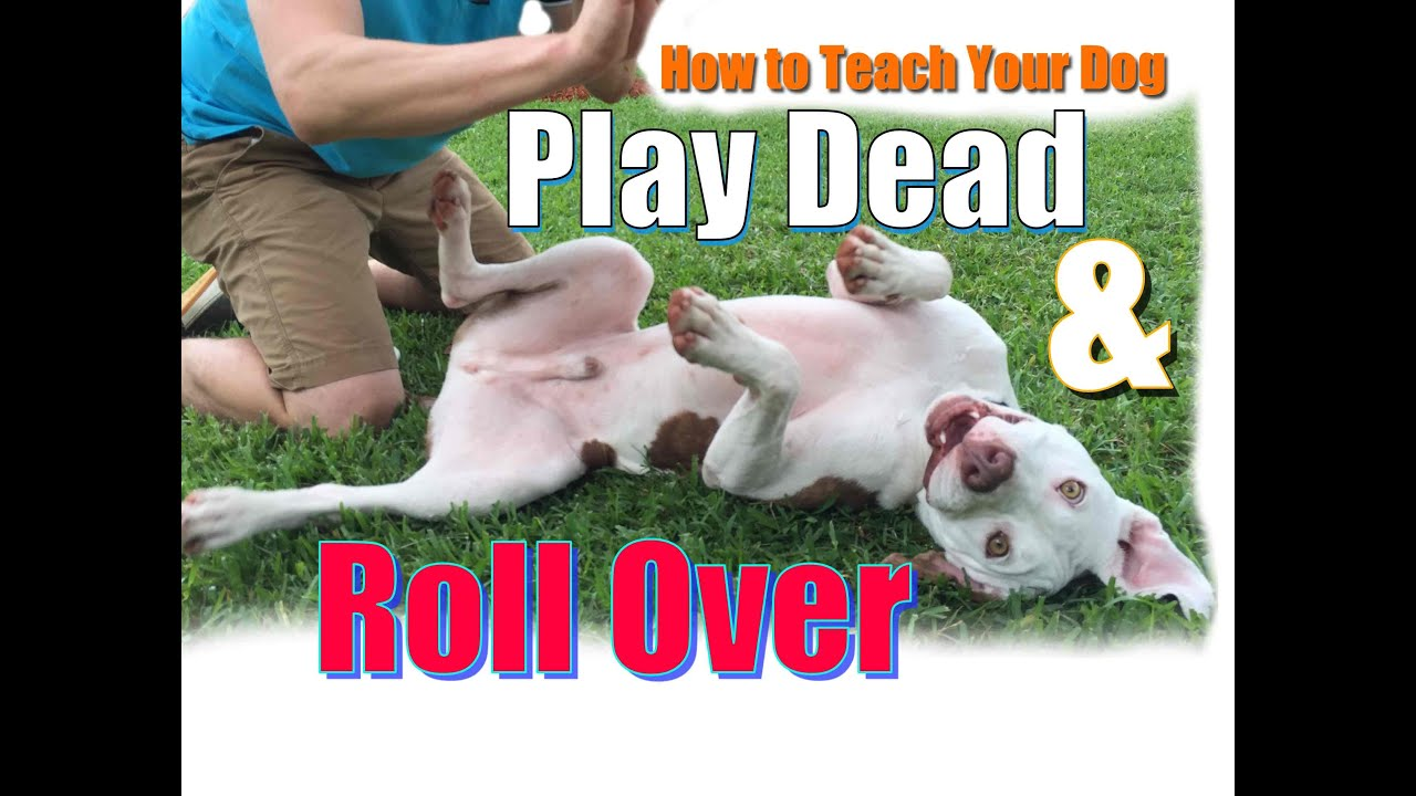 "How to Teach Your Dog to Roll Over and ""Play Dead"" FAST! - YouTube 