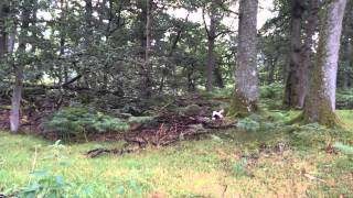 Springer Spaniels Gundog Training In Scotland - Tessleymoor Gundogs