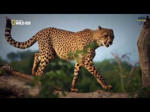National Geographic National   Fastest Animals  Running   Wildlife Animal