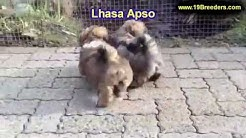 Lhasa Apso, Puppies, Dogs, For Sale, In Tampa, Florida, FL, 19Breeders, Fort Lauderdale, Hollywood