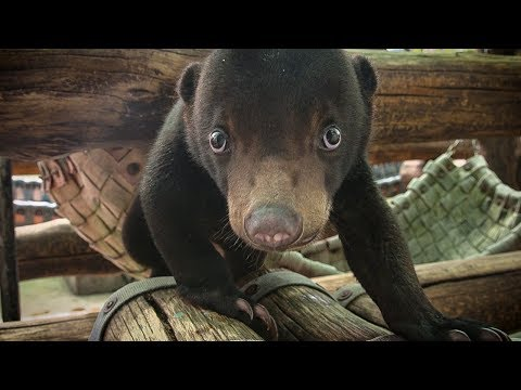 Rescued baby Sun Bear learns to climb and play | Earth Unplugged