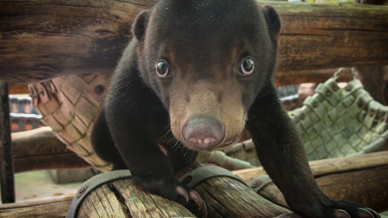Rescued Baby Sun Bear Learns To Climb And Play