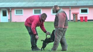 Staffordshire Bull Terrier - Protection Work