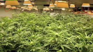 Timelapse of cannabis flowering cycle.